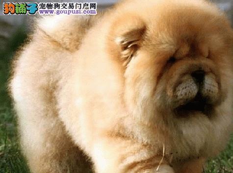 傻憨憨的松狮犬,外貌性格大不同