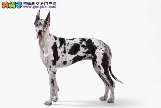 随和的巨人,乞丐王子大丹犬5