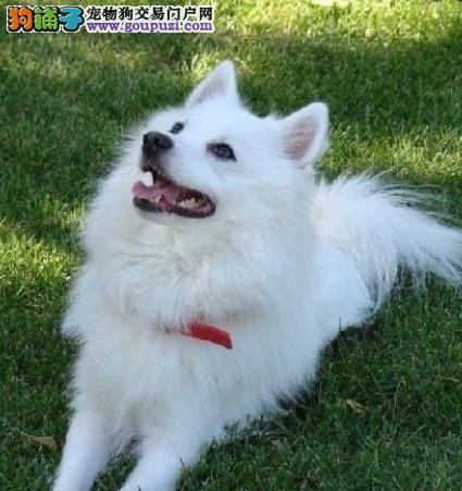 灵巧可爱的银狐犬犹如小白狐