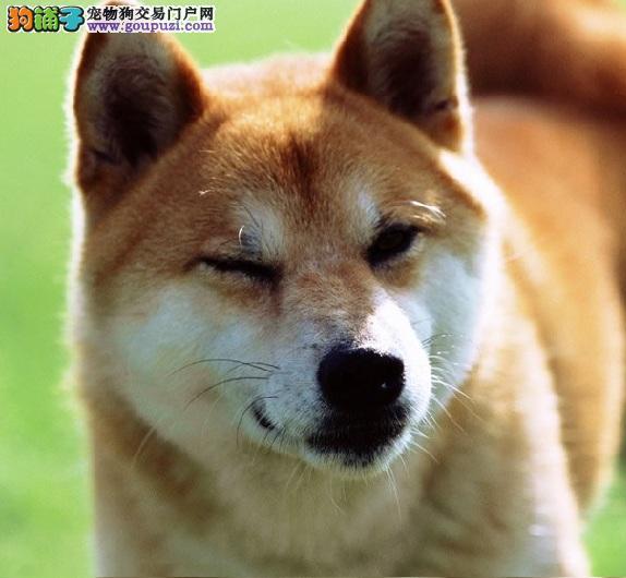 沉稳内敛的柴犬,训练独立性高