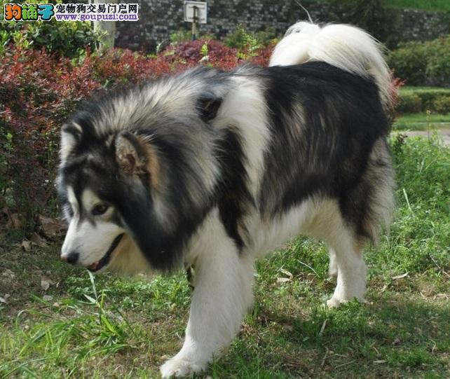体型健硕、非常威猛的阿拉斯加雪橇犬