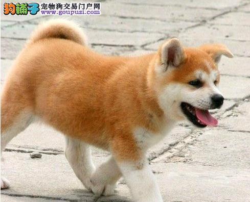 忠诚勇猛的秋田犬