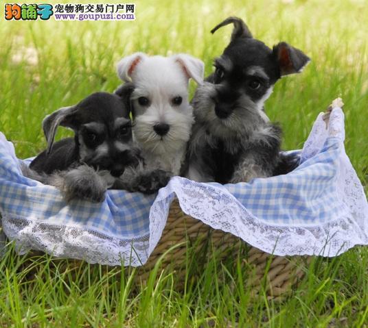 有着浓密白胡须的奇怪狗狗,迷你雪纳瑞犬
