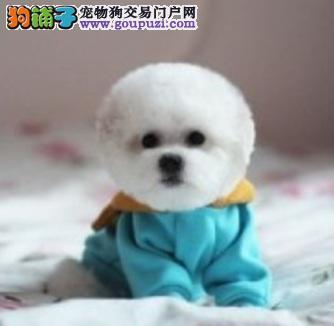 拥有纯白棉花糖般毛被的比熊犬