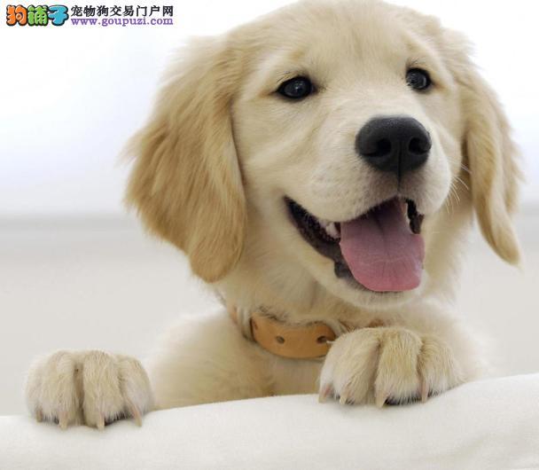 黄金猎犬的由来及特色,选狗必知