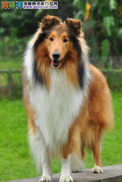 有俊俏外表和亮丽披毛的苏格兰牧羊犬