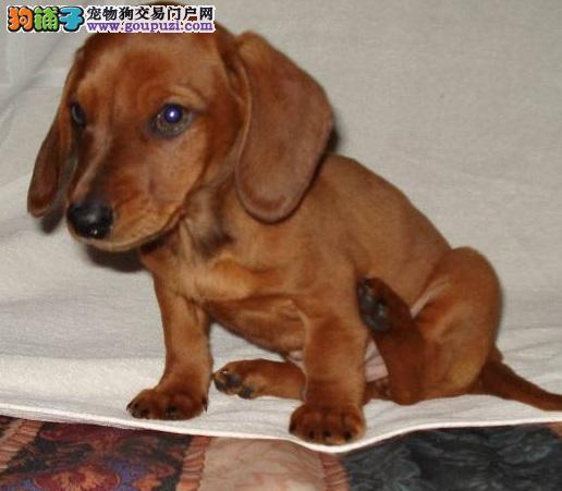 横长身形短短四肢的腊肠犬