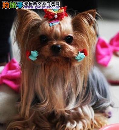 犬界小傲娇,爱撒娇的约克夏犬