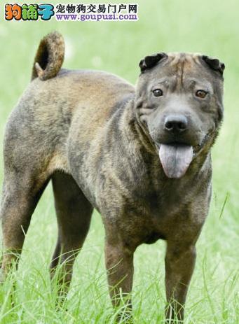 中国最古老的犬种之一沙皮狗