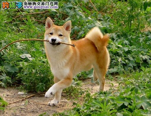 介绍日本柴犬8点外形特征
