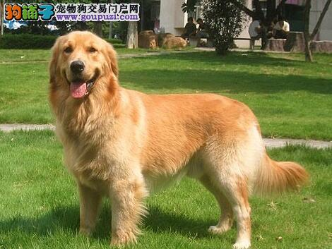 热门温驯狗狗,最温顺的狗狗金毛犬