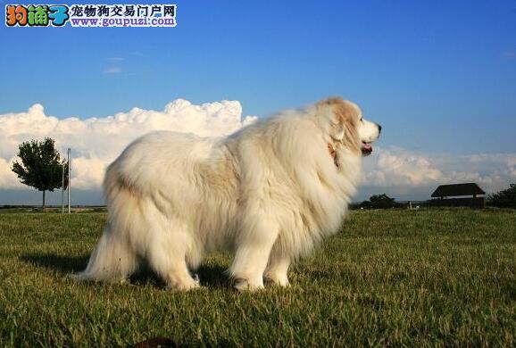 雪白的大白熊犬犬种介绍
