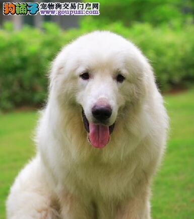 大白熊犬体型特征和个性特点