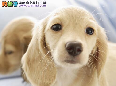 纯种金毛犬的特征,选购时不能盲目