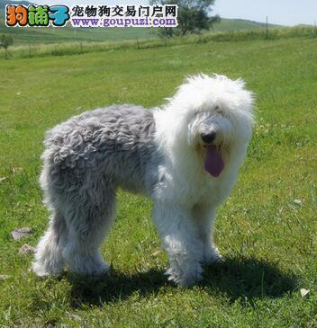 优秀的古代牧羊犬应具备的6点个性