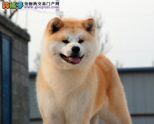 秋田犬与众不同的性格