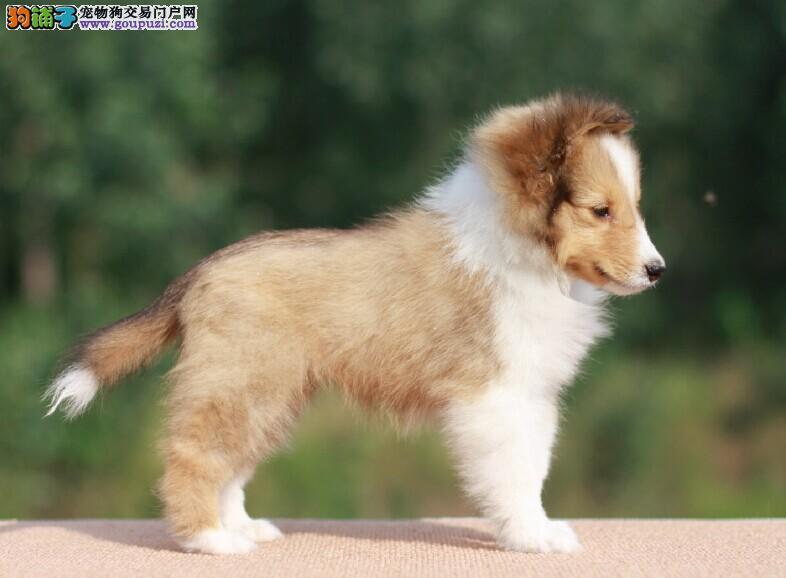 繁殖双赛级高品质喜乐蒂幼犬三针齐签质保北京内可送货