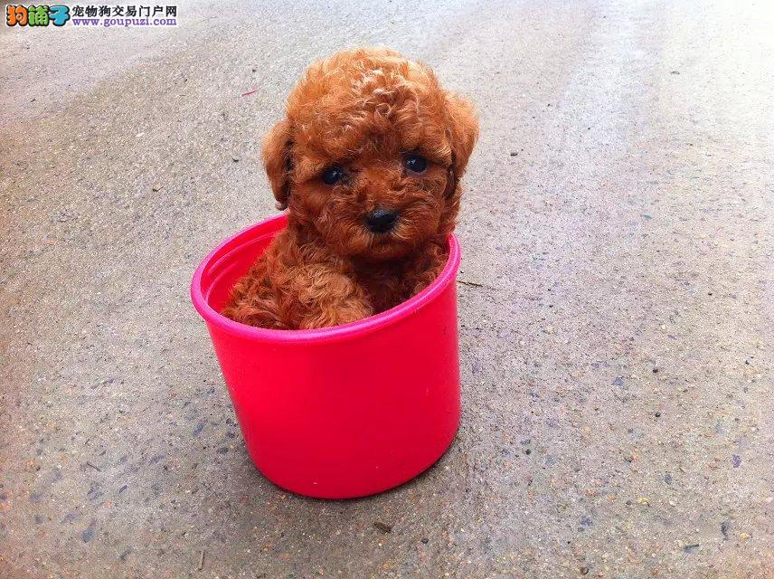 精品高品质茶杯犬幼犬热卖中质量三包多窝可选