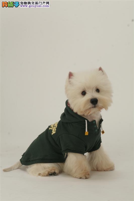 西高地,小型犬,聪明可爱,售后质保2