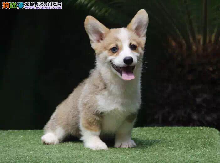 柯基犬 幼犬三个月 赛级品质 健康第一