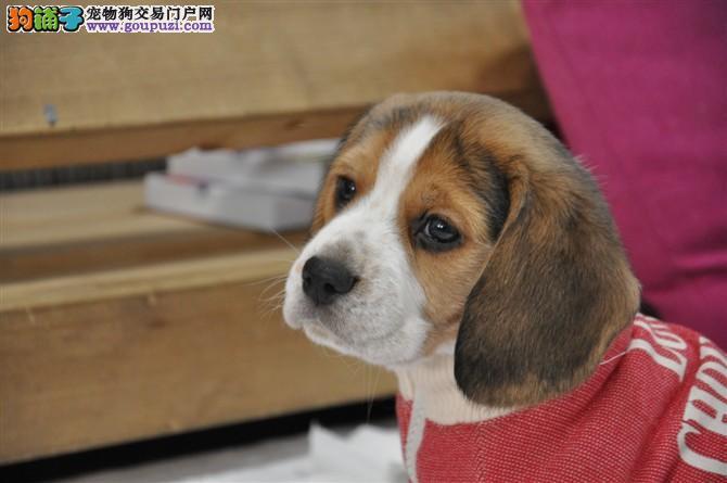 杭州哪里有比格犬出售 杭州比格多少钱一只