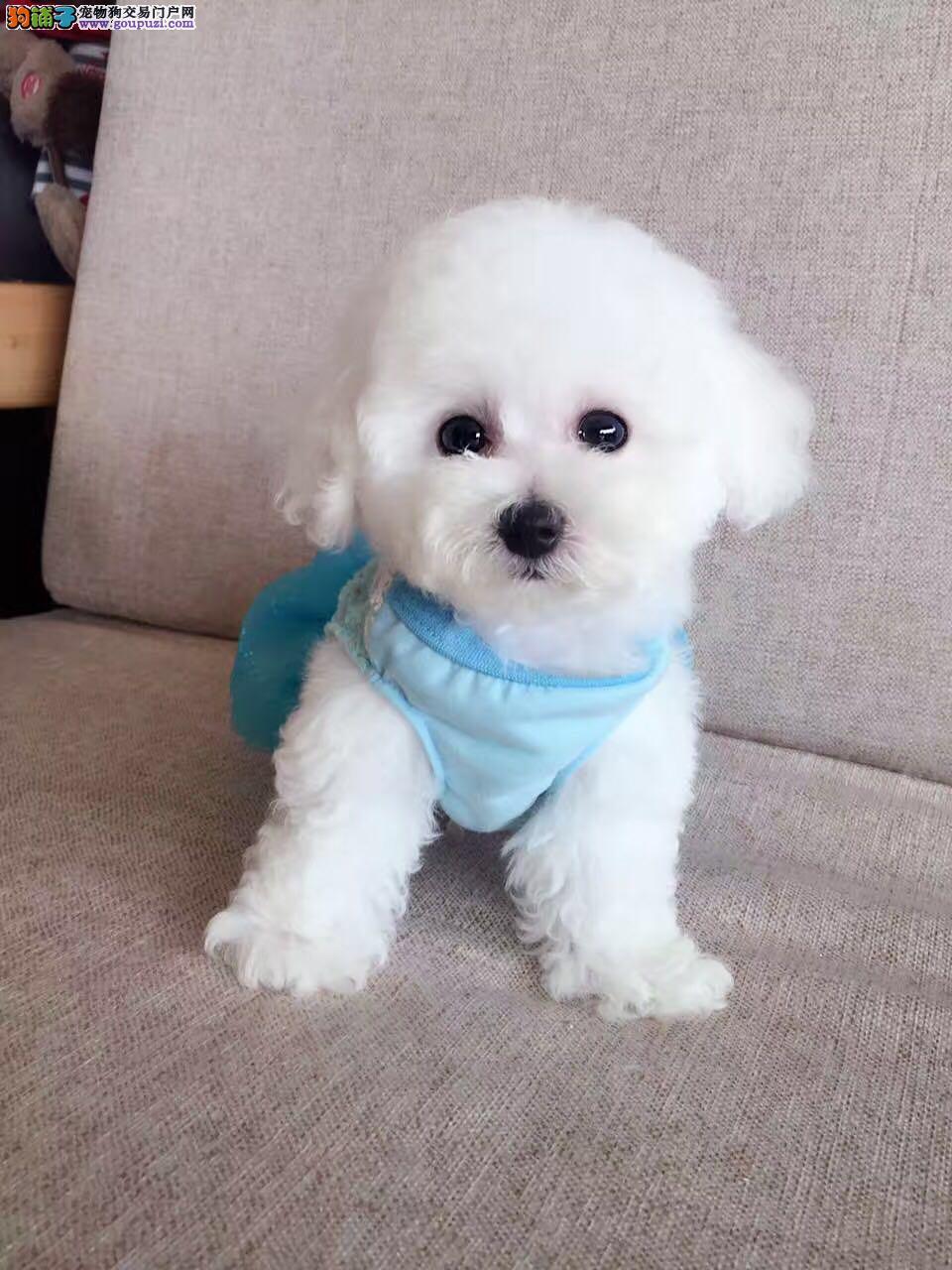 大型犬舍热销韩系成都泰迪犬 血统绝对纯正可办理证书