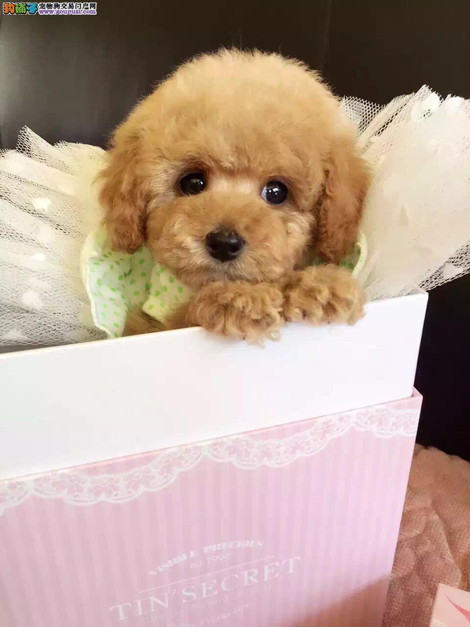 泰迪犬武汉最大的正规犬舍完美售后品质血统售后均有保障