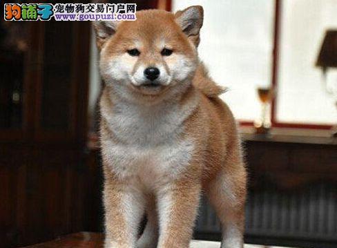 CKU认证犬舍 精品柴犬 签署购犬协议