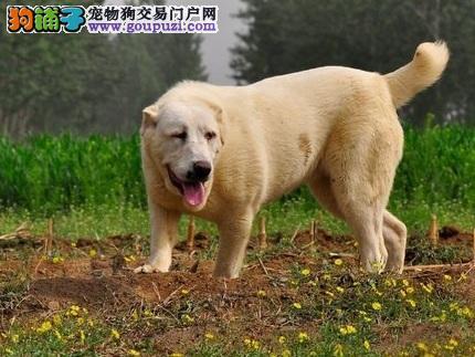 最大的中亚牧羊犬基地 完美售后价格低廉品质高