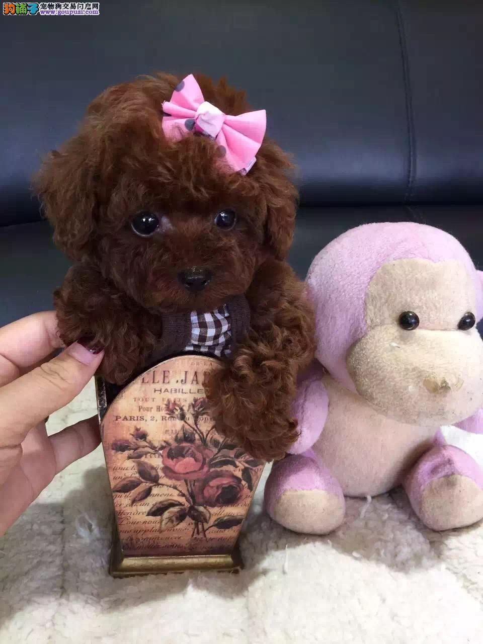 保定出售极品茶杯犬幼犬完美品相终身完善售后服务
