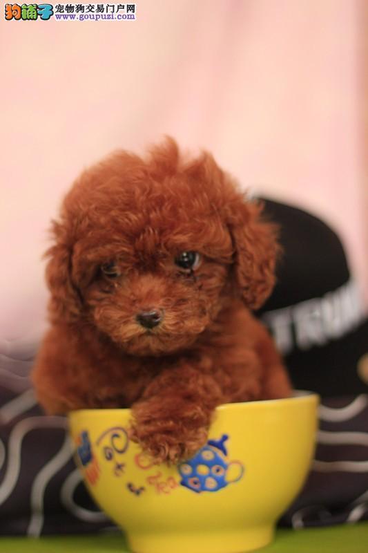 长沙纯种茶杯博美犬多少钱一只是纯种健康的吗