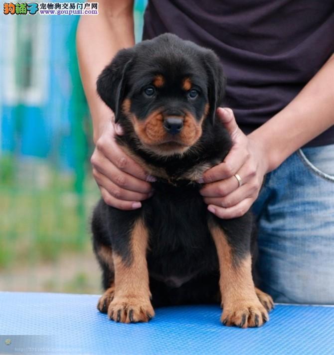 郑州CKU认证犬舍出售高品质罗威纳包养活包退换1