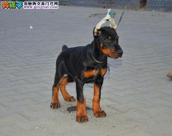 大型专业培育杜宾犬幼犬包健康请您放心选购