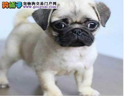 合肥出售纯种精品巴哥犬 健康品质有保障完美售后