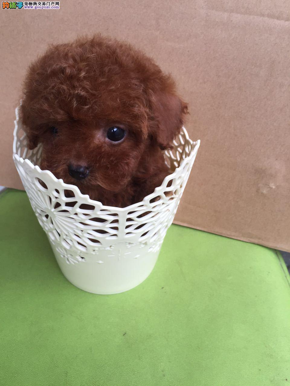 茶杯犬南京哪里有卖 南京哪里出售长不大狗狗袖珍价格