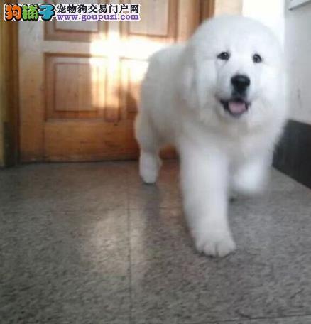 南京哪能买到便宜又好的大白熊南京狗场出售纯种大白熊
