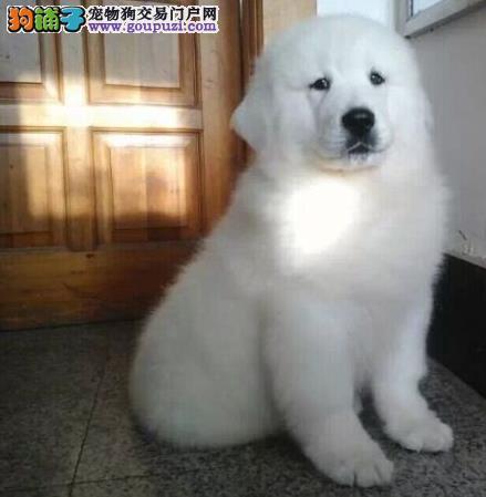 濮阳犬舍大白熊犬出售中身体超健康活泼签终身质保合同