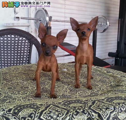 上海迷你型的小鹿宝宝出售都是长相很好长不大的小鹿犬