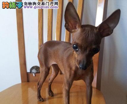 出售纯种小鹿犬幼犬 上门看狗价格可谈 包健康签协议