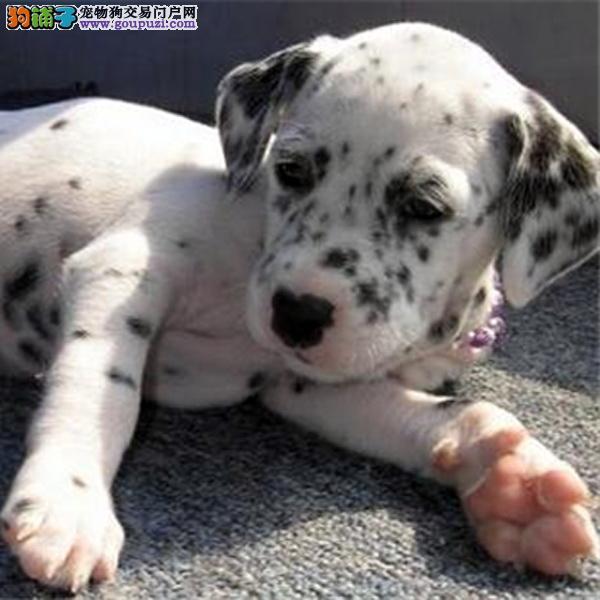 纯种赛级斑点狗、金牌店铺品质第一、提供养护指导