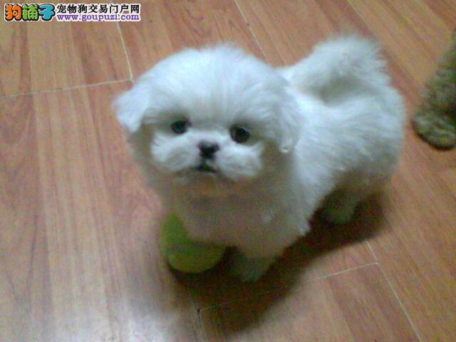 出售纯种精品的宫廷京巴幼犬