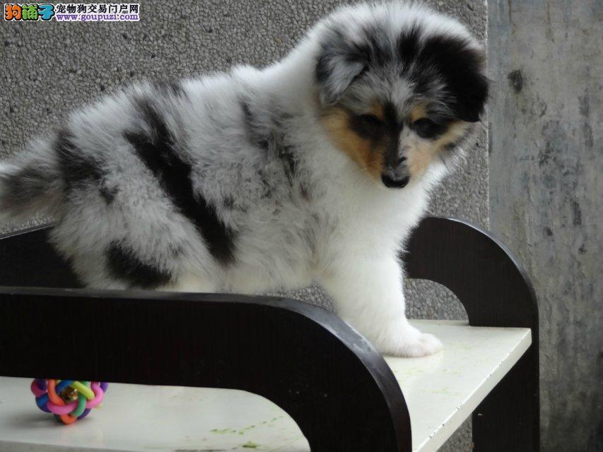 纯种苏格兰牧羊犬幼犬价格毛色靓体型佳颜色多只可选