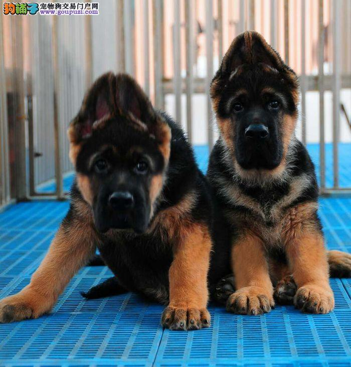 养殖场直销完美品相的狼狗签订协议包细小犬瘟热