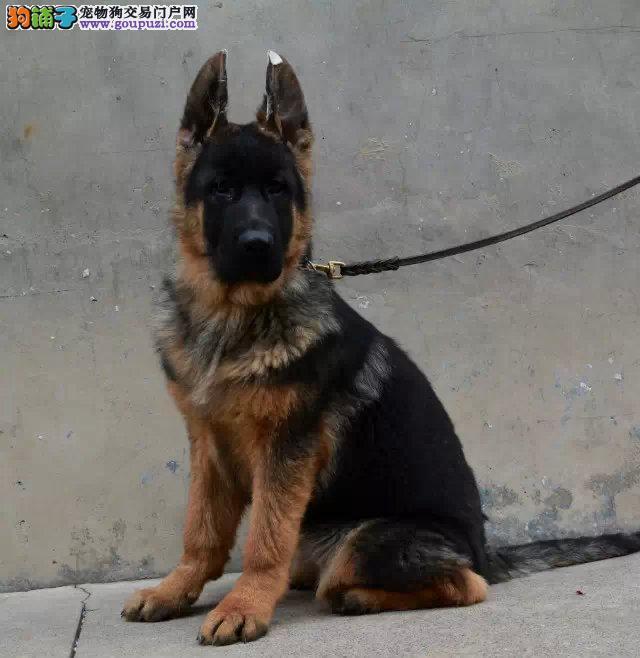 狼狗找新家、自家繁殖保养活、购犬可签协议