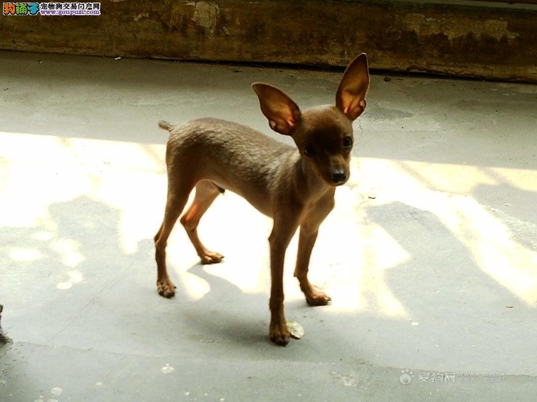绵阳出售小鹿犬幼犬健康聪明粘人品相好长不大欢迎来选