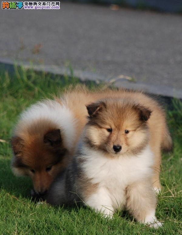 沈阳纯种苏格兰牧羊犬微信看狗 后期可提供上门配种