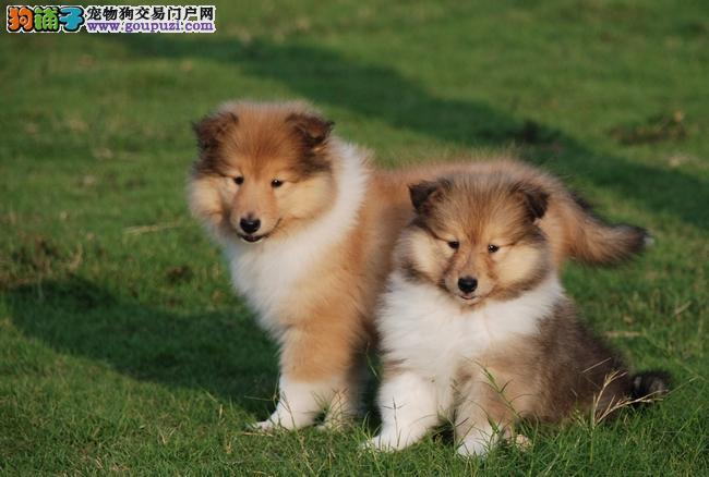 赛级血系纯种苏格兰牧羊犬品相完美健康品质保证