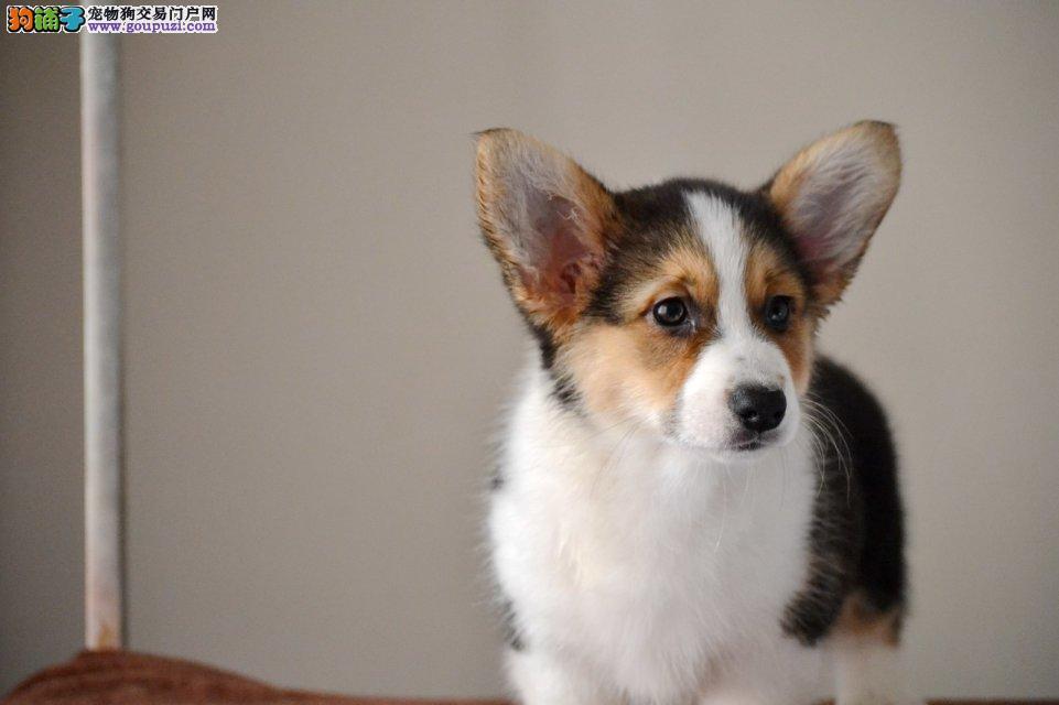 顶级纯种柯基幼犬 纯种健康专业狗场繁殖4