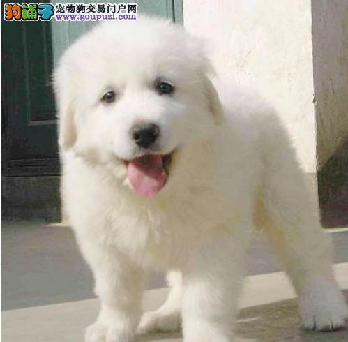 大白熊狗场售幼犬 品种优质,北京市内可送货上门!图片