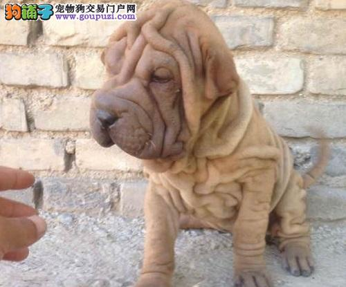 活泼可爱纯种温顺憨厚沙皮狗价格公母都有包半年健康